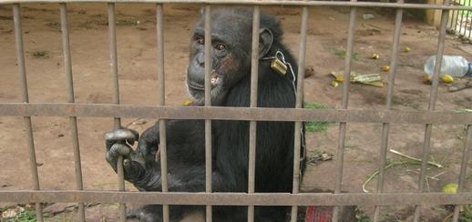 großes bild schimpanse lolita