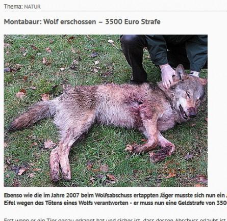 presseausschnitt erschossener wolf