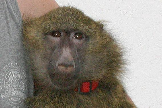 animal public hilft Zirkusaffen Zusje