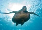 Wenn Caretta kribbelig wird – aus dem Leben einer Meeresschildkröte
