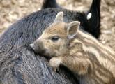 Als die Schweine den Wald verließen