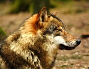 Lausitz: Wolf erschossen!