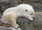Knut oder was verdient ein Eisbär