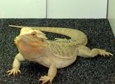 Reptilien gewinnen zunehmend Bedeutung als Überträger schwerer Salmonelleninfektionen