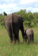 Elefantenexperten fordern Verbot des Elefantenfangs in Tansania