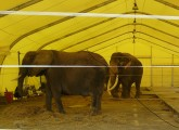 Im Jahr der toten Zirkus-Elefanten