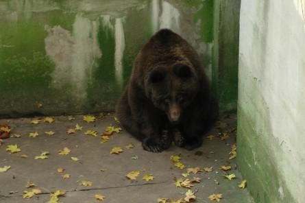 Bärenhaltung in Calbe