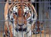 Tigerangriff im Allwetterzoo Münster zeigt: Haltung von Wildtieren nicht zu verantworten