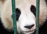 Protest gegen Pandabären-Importpläne