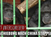 Kein Schimpansen-Transport nach China