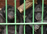 Erfolg: Schimpansen müssen nicht nach China