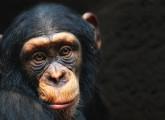 Petitionsausschuss lehnt Grundrechte für Menschenaffen ab