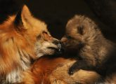 Luxemburg verlängert Fuchsjagdverbot erneut – Jagdbann ist ein Erfolgsmodell