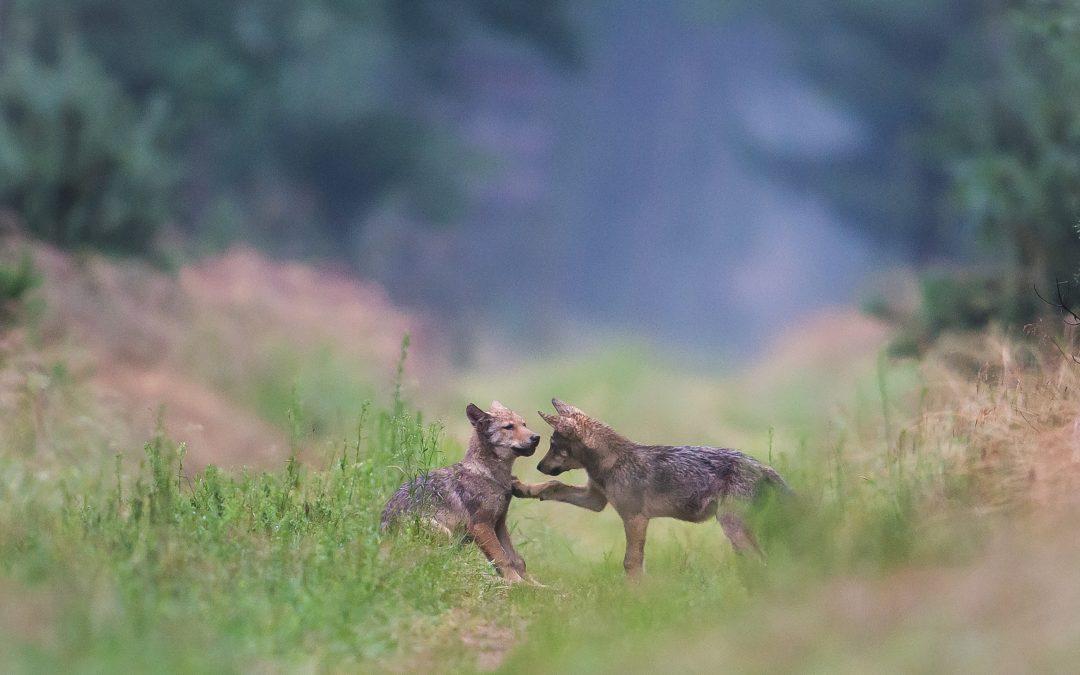 Das Märchen vom bösen Wolf