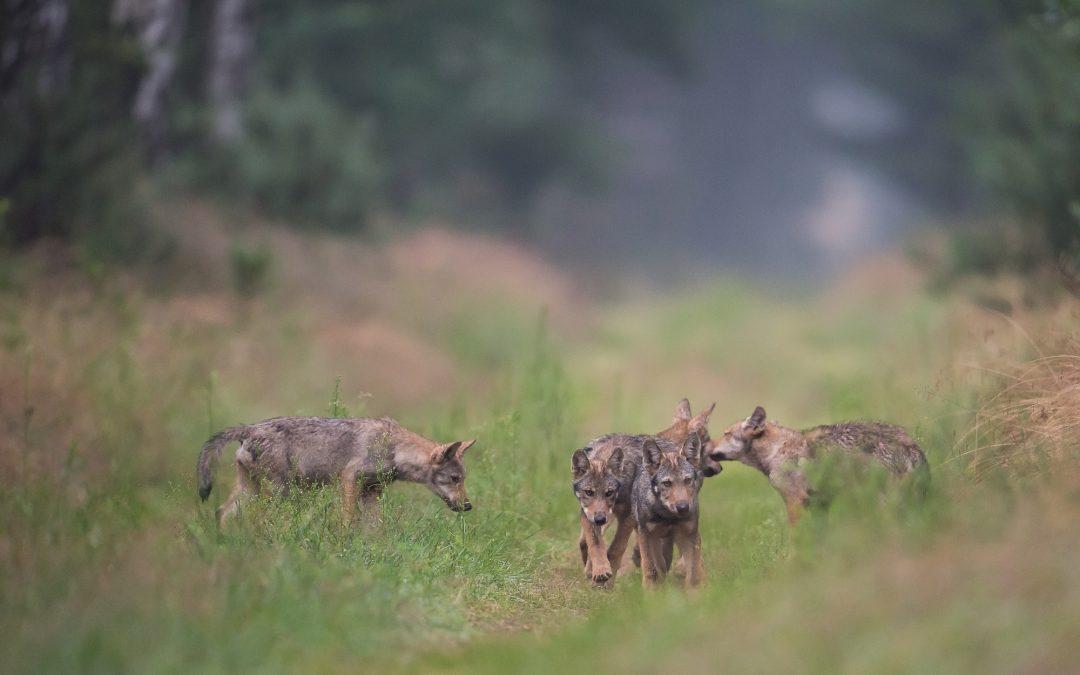 Die Rückkehr des Wolfes