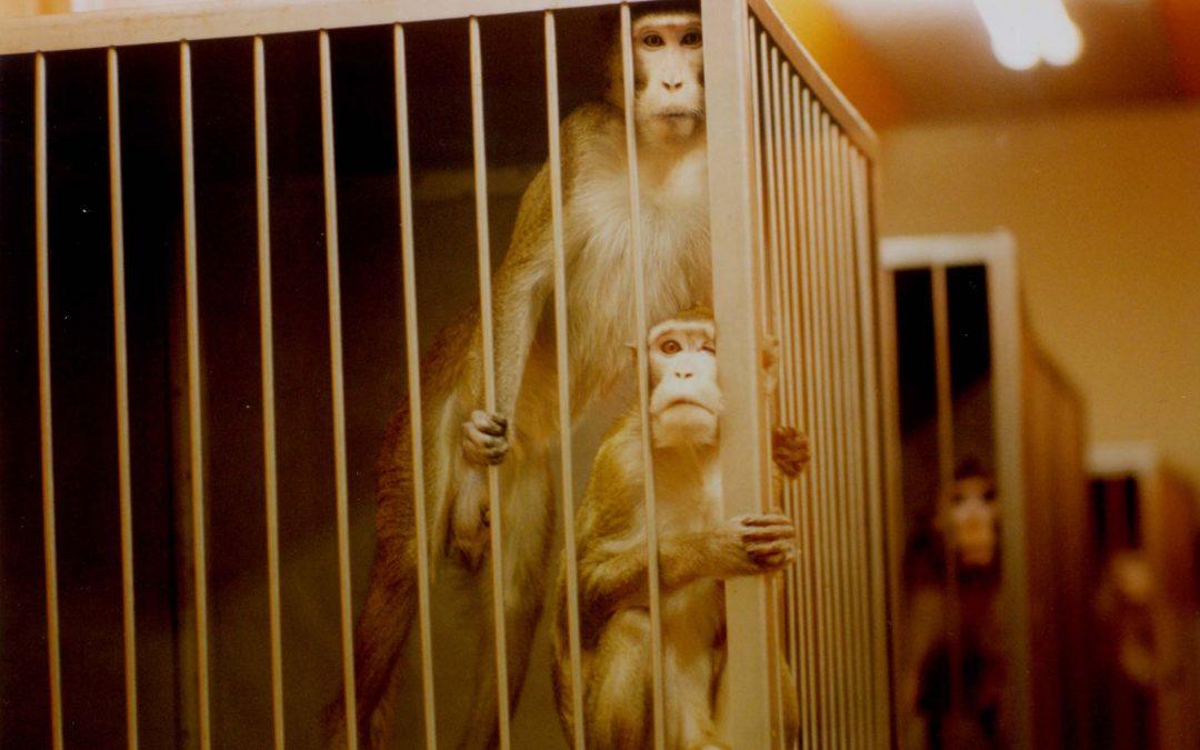 Tierversuche an Affen – grausam und sinnlos