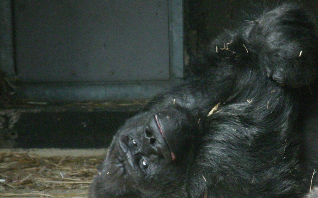 Krefelder Zoo: Gorilla erschossen