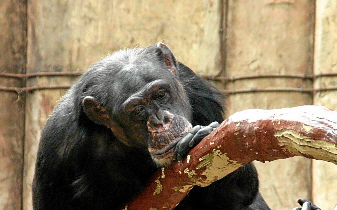 Limbo und Bally – ungewisse Zukunft der überlebenden Schimpansen in Krefeld