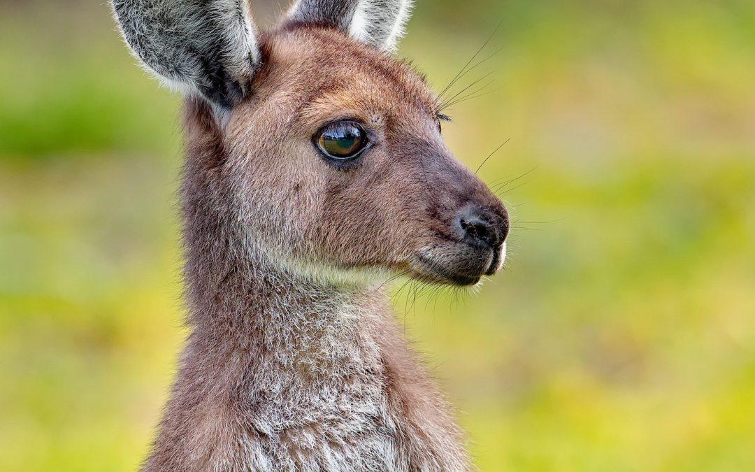 Die grausame Jagd auf Kängurus