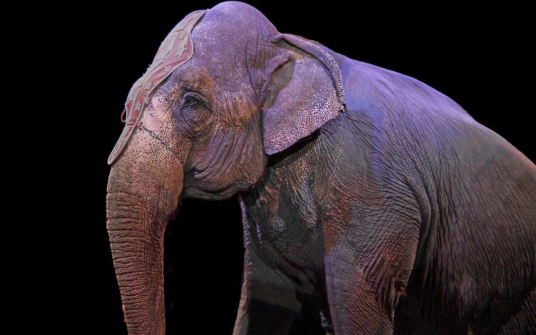 Bundeslandwirtschaftsministerin kündigt halbherziges Wildtierverbot im Zirkus an
