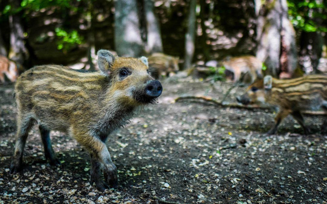 Arme Schweine! Ausbruch der Afrikanischen Schweinepest in Deutschland