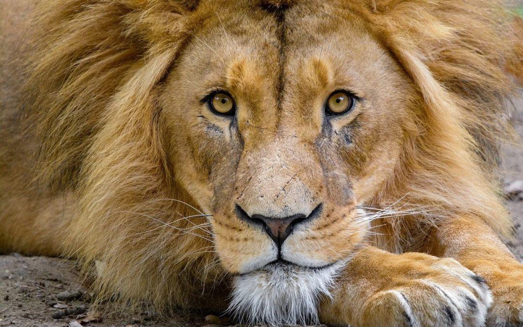 Darum diskutiert der Tiergarten Nürnberg die Tötung eines gesunden Löwen