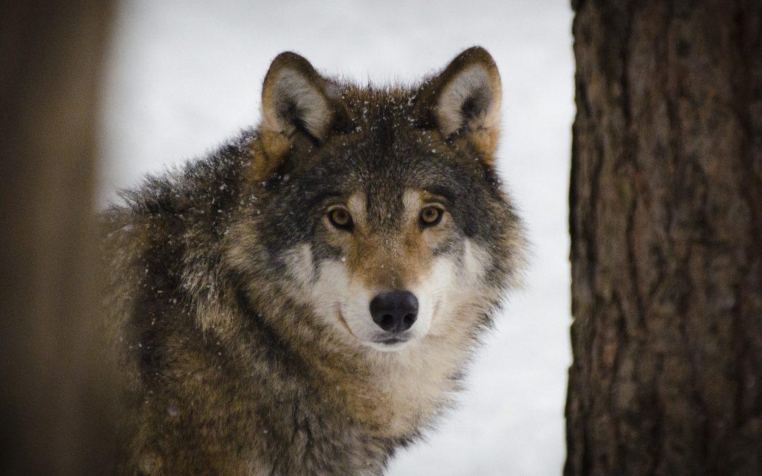 Wolfsabschüsse in Niedersachsen